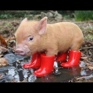 Piglet in red Boots
